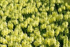 Желтые цветки попкорна Стоковые Фотографии RF
