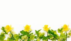 Желтые цветки предпосылки белизны Narcissus и морозника Стоковое Фото