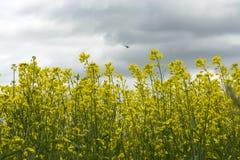 Желтые цветки рапса, птица летают в небо с облаками Стоковое Фото