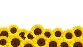 Желтые цветки солнца Стоковое Изображение RF