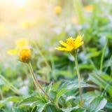 Желтые цветки с временем солнечного света утра весной Стоковая Фотография