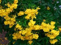 Желтые цветки с естественной зеленой предпосылкой листьев Стоковое Изображение