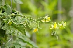 Желтые цветки томата Стоковое Изображение