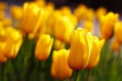 Желтые цветки тюльпана Стоковая Фотография
