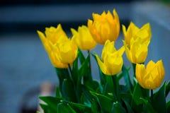 Желтые цветки тюльпана стоковая фотография rf