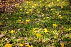 Желтые цветки упали на траву Стоковая Фотография RF