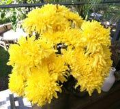 Желтые цветки хризантемы в саде на солнечный день, красивый зацветая в горшке цветок мам украшают на деревянном столе, closeu стоковое фото rf