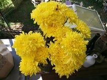 Желтые цветки хризантемы в саде на солнечный день, красивый зацветая в горшке цветок мам украшают на деревянном столе, верхней ча стоковое фото rf