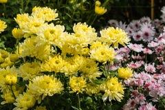 Желтые цветки хризантемы в цветени Стоковое Фото