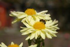 Желтые цветки хризантем Стоковые Фотографии RF