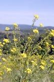 Желтые цветки цветения Стоковое Изображение RF
