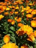 Желтые цветки цветения Стоковые Фото