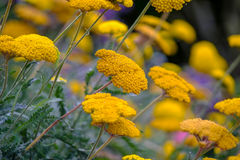 Желтые цветки Стоковые Изображения RF
