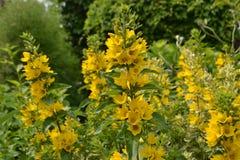 Желтые цветки Стоковые Фото