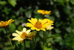Желтые цветки Стоковая Фотография RF