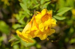 Желтые цветки allamanda Стоковое фото RF