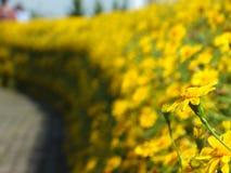 Желтые цветки Coreopsis Tickseed Стоковая Фотография