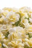 Желтые цветки kalanchoe Стоковые Изображения RF