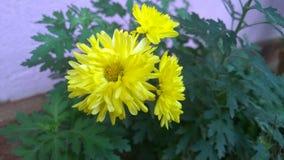 Желтые цветки kapuru Стоковые Изображения
