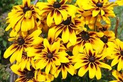 Желтые цветки rudbeckia лето сада цветков цветения Стоковое Изображение RF