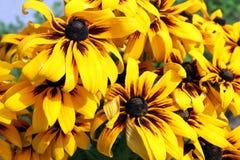 Желтые цветки rudbeckia лето сада цветков цветения Стоковая Фотография