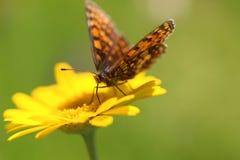Желтые цветок и бабочка стоковое фото rf