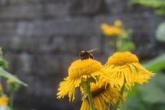 Желтые цветок и пчела Стоковая Фотография RF