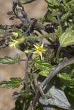 Желтые цветя заводы томата Стоковое фото RF