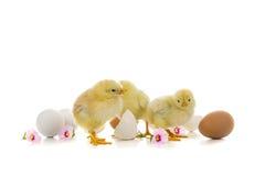 Желтые цыплята и яичка на белой предпосылке Стоковое фото RF