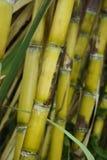 Желтые черенок сахарного тростника Стоковые Фото