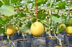Желтые дыни в саде парника Стоковая Фотография RF