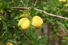 Желтые яблоки на ветви яблони с зелеными листьями Стоковое Изображение RF