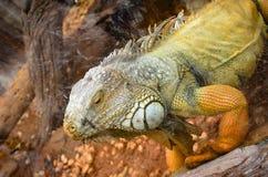 Желтые ящерицы Стоковое Изображение