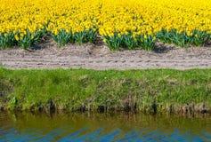 Желтые blossoming шарики narcissus на краю поля Стоковое Изображение RF