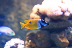 Желтые Butterflyfish кабеля Стоковая Фотография RF