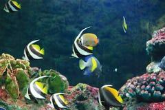 Желтые Butterflyfish кабеля Стоковые Изображения