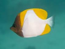 Желтые Butterflyfish пирамиды Стоковое фото RF