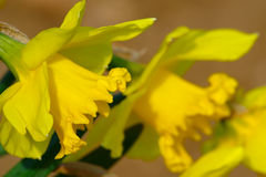 Желтые daffodils весной Стоковые Фотографии RF