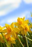 Желтые daffodils в луге Стоковая Фотография