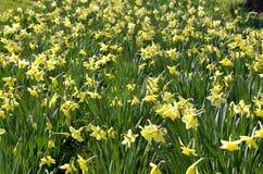 Желтые daffodils Стоковые Изображения