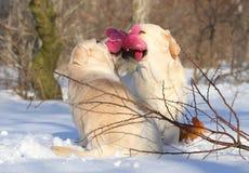 Желтые labradors в зиме с игрушкой Стоковое фото RF