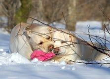 Желтые labradors в зиме с игрушкой Стоковые Изображения