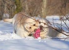 Желтые labradors в зиме с игрушкой Стоковые Изображения RF