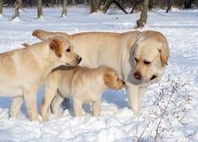 Желтые labradors в зиме Стоковые Фотографии RF