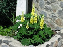 Желтые Lupines Стоковое Фото
