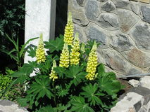 Желтые Lupines Стоковая Фотография RF