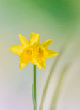 Желтые narcissus цветут, закрывают вверх, зеленый для того чтобы пожелтеть предпосылку degradee Знайте как daffodil, daffadowndil Стоковое Изображение