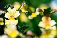 Желтые pansies Стоковые Фото