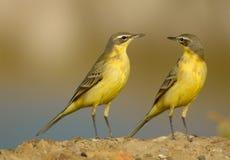 желтые wegtails Стоковые Фотографии RF