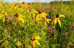 Желтые wildflowers прерии освещенные по солнцу Стоковое Фото